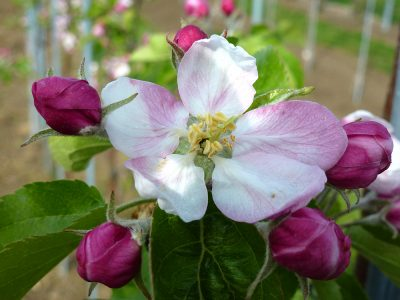 Apfelblüte Königsblüte