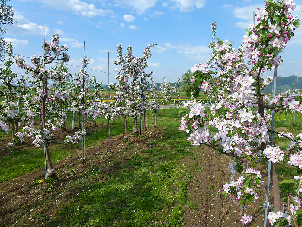 Apfelblüte Baumreihe