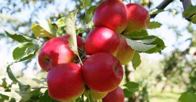 Apfel Jonathan am Baum