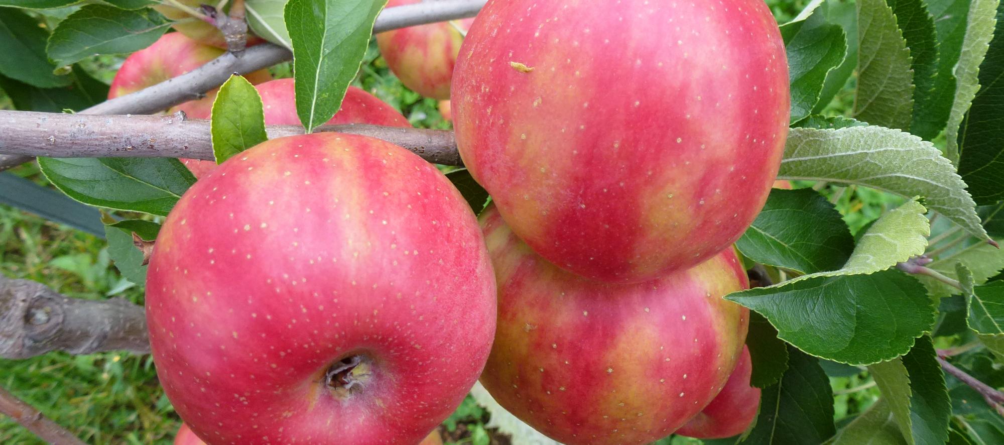 Apfel Karneval