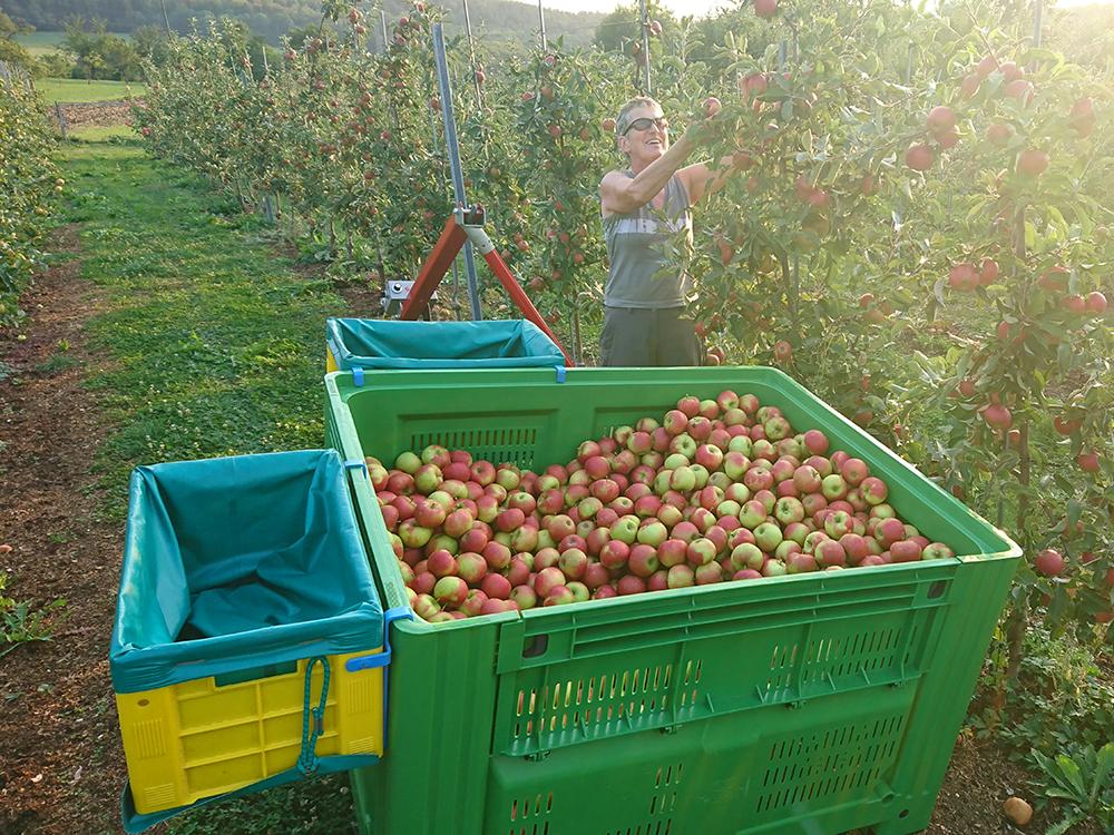 Apfelernte Großkiste