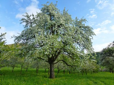 Birnenblüte Dornbirne Wengertacker