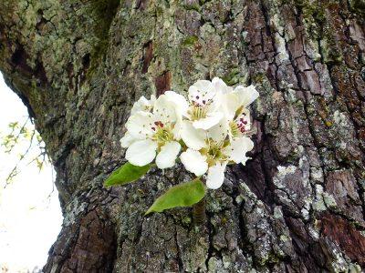 Birnenblüte am Stamm