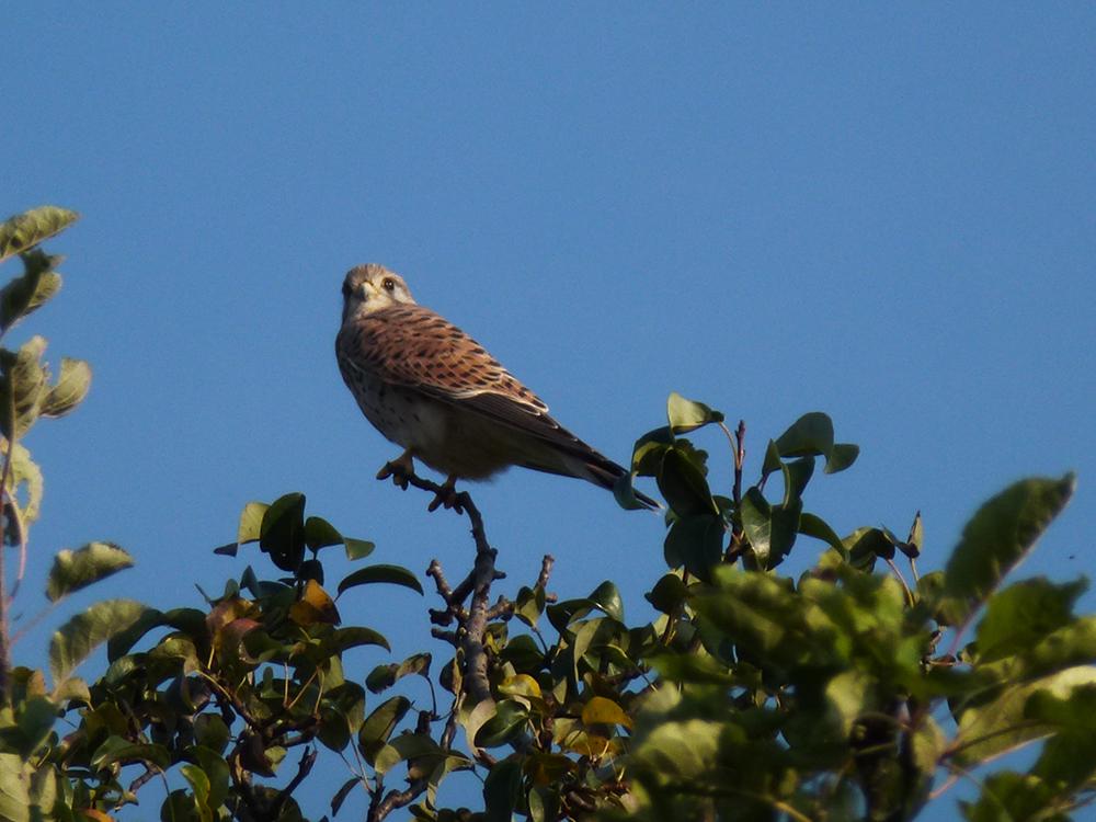 Falke auf Baum