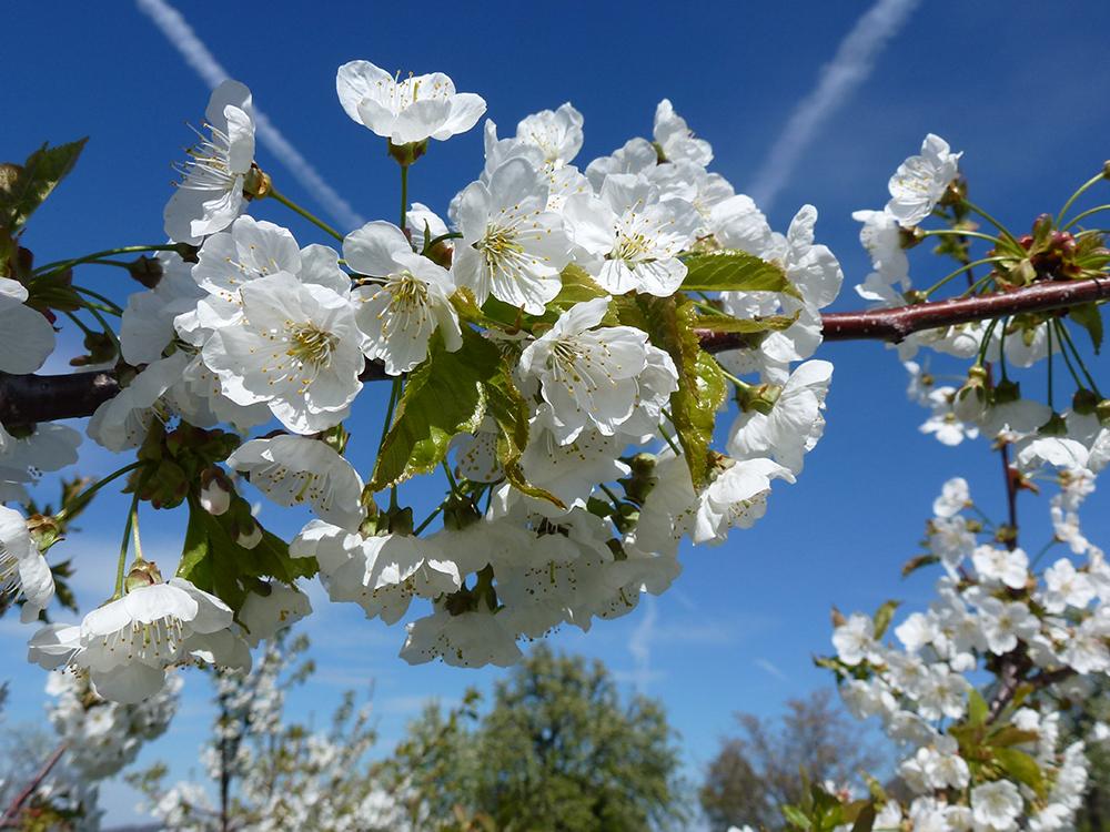 Kirschen Blüte