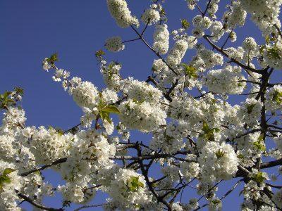 Kirschen Blüte Zweig