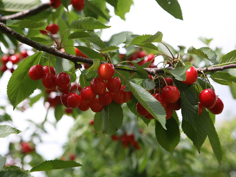 Kirschen rot mit Zweig