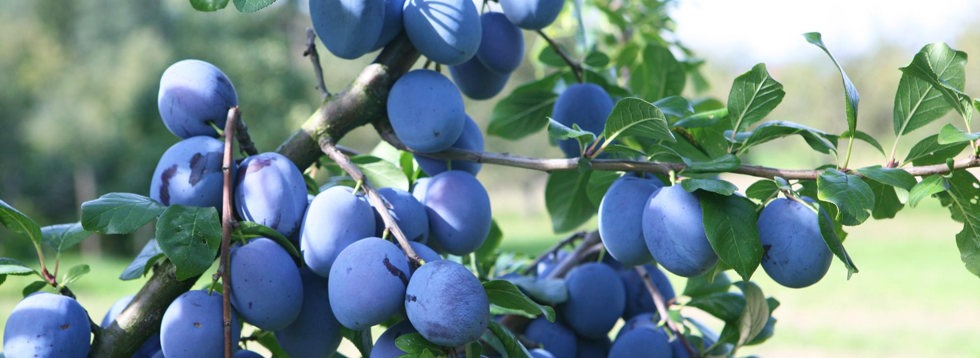 Zwetschgen Stausee-Obst