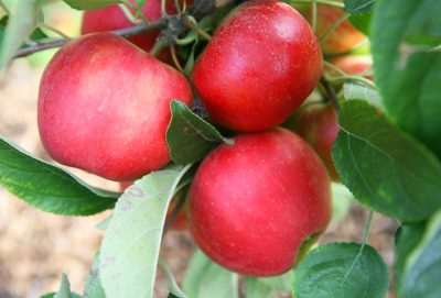 unsere-fruechte äpfel, birnen, pflaumen, kirschen aus regionalem Anbau