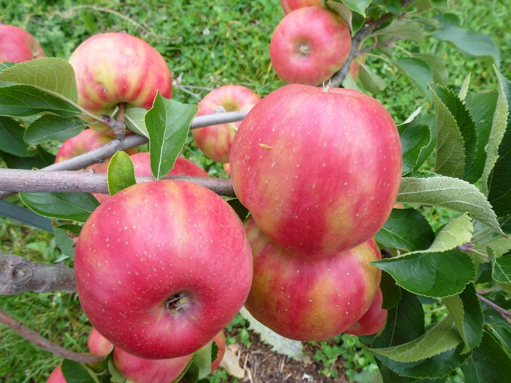Apfel Karneval Detail