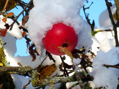 Apfel mit Schneehaube