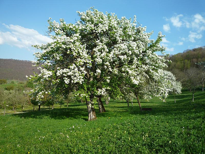 Palmisch-Birne Baum Blüte