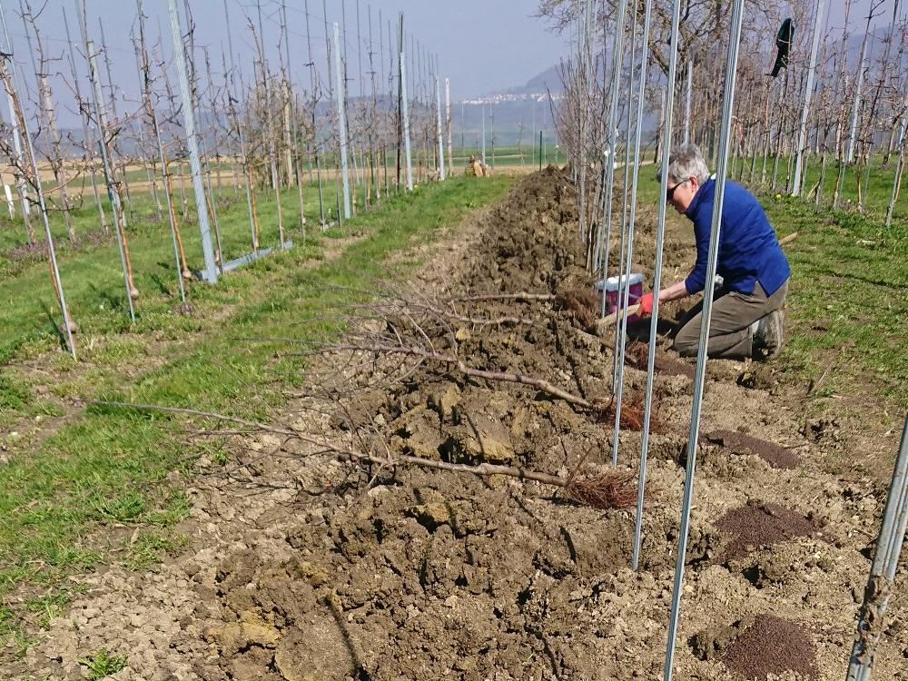 Neupflanzung Äpfel Detail