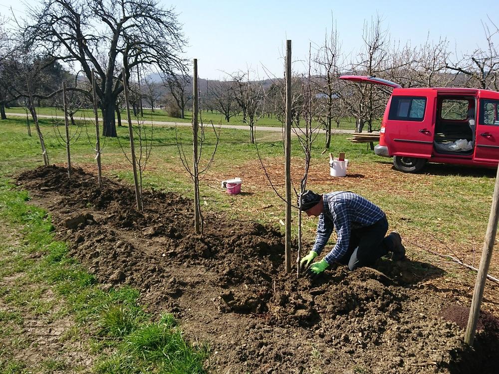 Neupflanzung Birnen Detail