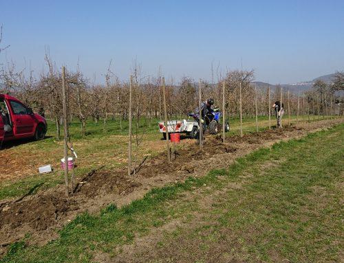 Neupflanzung von Apfel-,  Birn- und Kirschbäumen