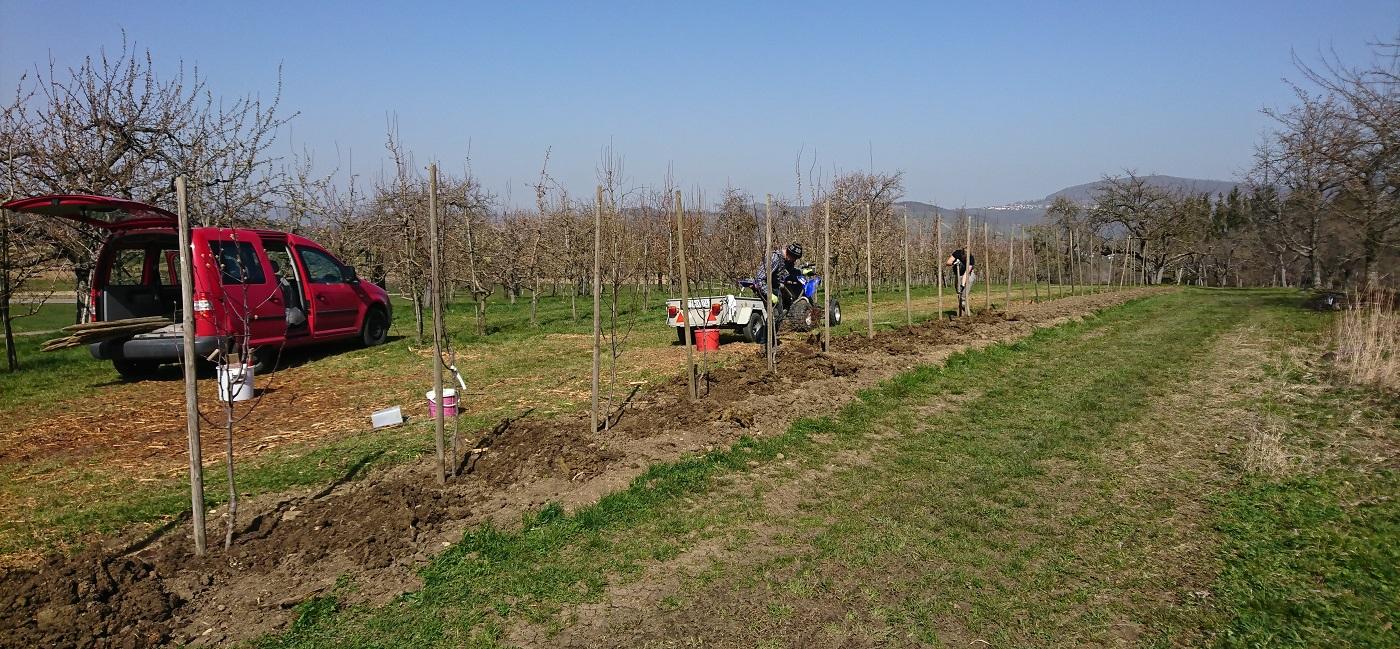 Neupflanzung Birnen