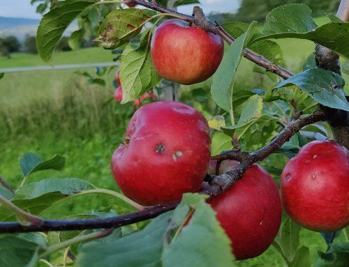 Apfel- und Birnenernte hat gestartet