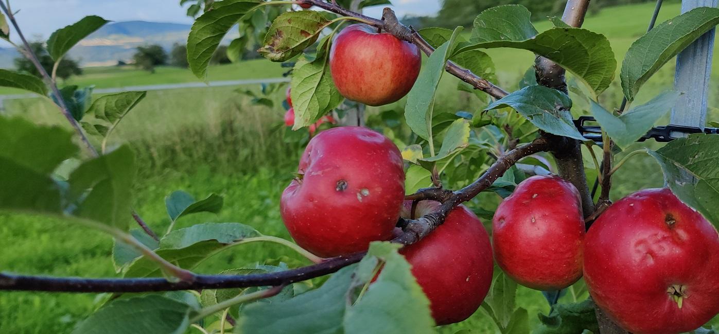 Äpfel mit Hagelschaden